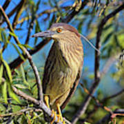 Black-crowned Night Heron (nycticorax Poster