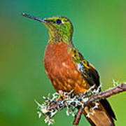 Chestnut-breasted Coronet Poster