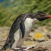 Falkland Islands, Bleaker Island Poster