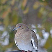Female White Wing Dove Poster