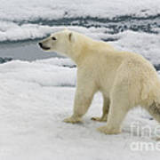 Polar Bear Crossing Ice Floe Poster