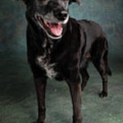 Portrait Of A Labrador Golden Mixed Dog Poster