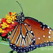 Queen Butterfly Poster