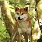 Shiba Inu Dog Poster