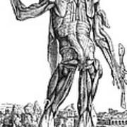Vesalius: Muscles, 1543 Poster