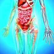 Female Anatomy Poster