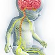 Baby's Nervous System Poster