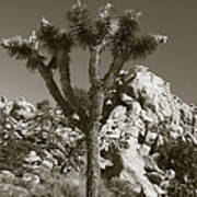 Joshua Tree National Park Landscape No 7 In Sepia Poster