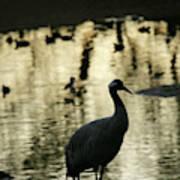 Common Cranes At Gallocanta Lagoon Poster
