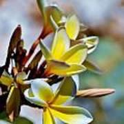 Frangipani Blossom Poster
