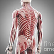 Human Muscles Poster