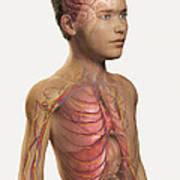 Internal Anatomy Pre-adolescent Poster