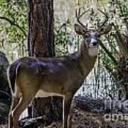 8 Point Buck In My Backyard Poster