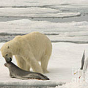 Polar Bear With Fresh Kill Poster