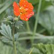 Scarlet Avens Orange Wild Flower Poster