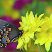 Spicebush Swallowtail, Papilio Troilus Poster