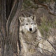 Timber Wolf Canis Lupus Poster
