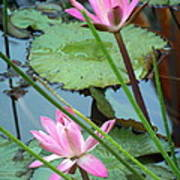 Pink Water Lily Pond Poster