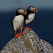 Atlantic Puffins Fratercula Arctica Poster