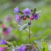 Common Lungwort Poster