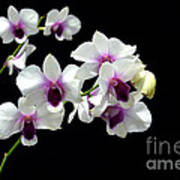 Dendrobium Orchid Poster