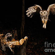 Eastern Screech Owl Poster by Scott Linstead