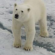 Polar Bear Crossing Ice Floe Poster