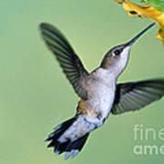 Ruby Throated Hummingbird Poster