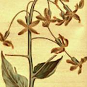 Botanical Print By Sydenham Teast Edwards 1768 – 1819 Poster