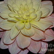 #928 D809 Dahlia Pink White Yellow Dahlia Thoughts Of You Poster