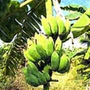 A Banana Field In Late Afternoon Sunlight With Sky And Clouds Poster