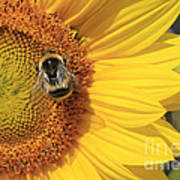 A Bee Gathering Pollen On A Sun Flower Poster