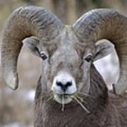 A Big Ram Caught With His Mouth Full Poster
