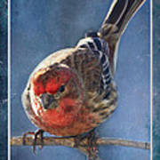 A Blue Morning Housefinch Poster