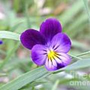 A Blue Pansy Poster