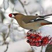 A Bohemian Waxwing Feeding On Mountain Poster