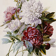 A Bouquet Of Red Pink And White Peonies Poster