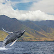 A Breaching Humpback Whale  Megaptera Poster