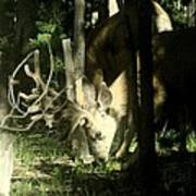 A Buck Deer Grazes Poster
