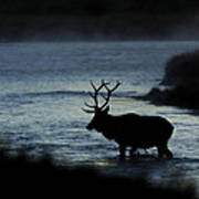 A Bull Elk Crosses The Madison In The Early Morning  Poster