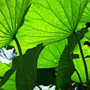 A Canopy Of Lotus Leaves Poster