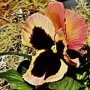 A Charming Pansy Poster