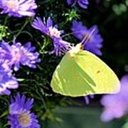 A Clouded Sulphur On Lavender Mums Poster