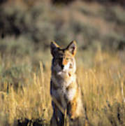 A Coyote Canis Latrans Stares Poster