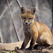 A Cute Kit Fox Portrait 1 Poster