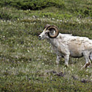 A Dall Ram's Curl Poster