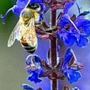 A European Honey Bee And It's Flowers Poster