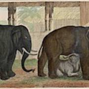 A Family Of Indian Elephants Poster