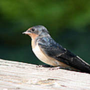 A Female Purple Martin Is Watching You Poster