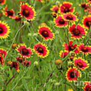 a field of Indian Blankets Poster
